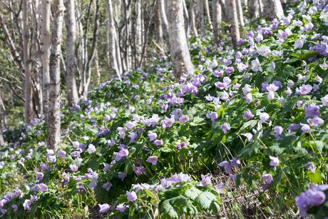 シラネアオイの花の写真素材 [FYI04108080]