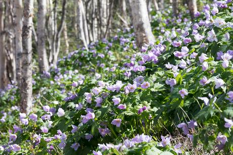 シラネアオイの花の写真素材 [FYI04108081]