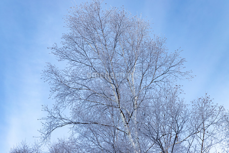 北海道冬の風景 美瑛町の樹氷の写真素材 [FYI04108160]