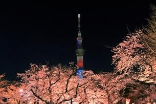 東京スカイツリーと隅田川のサクラの夜景の写真素材 [FYI04108211]