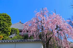 浅草寺六角堂のシダレ桜の写真素材 [FYI04108240]