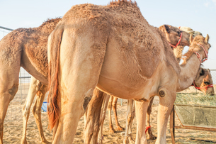 アラビア砂漠のラクダ(アラブ首長国連邦)の写真素材 [FYI04108796]