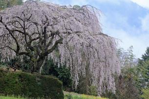 3月 中越家の枝垂れ桜 -四国の春-の写真素材 [FYI04108882]