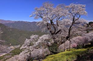 3月 ひょうたん桜 -四国最大の一本桜-の写真素材 [FYI04109036]