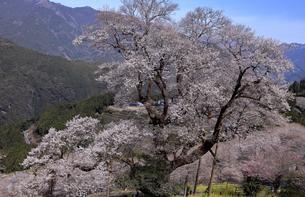 3月 ひょうたん桜 -四国最大の一本桜-の写真素材 [FYI04109038]