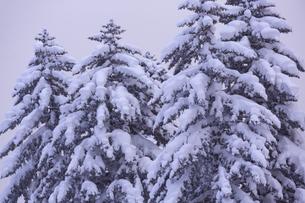 紅掛空色に染まり始めた冬の森の木々の写真素材 [FYI04109084]