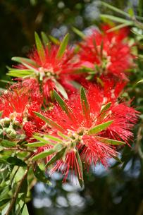 咲始めの赤いブラシノキの写真素材 [FYI04109132]