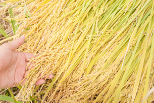米の収穫の写真素材 [FYI04109181]