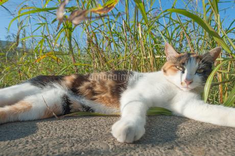寝そべる猫の写真素材 [FYI04109209]