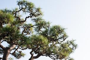 青空と松の木の写真素材 [FYI04109211]