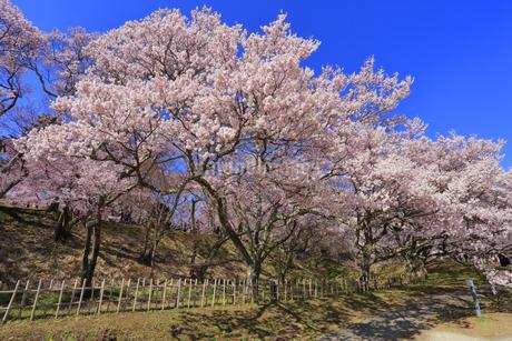 高遠城址公園の桜の写真素材 [FYI04109252]