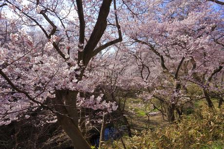 高遠城址公園の桜の写真素材 [FYI04109255]