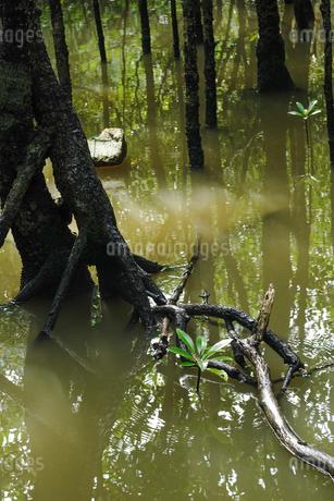 マングローブの森の写真素材 [FYI04109265]