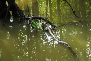 マングローブの森の写真素材 [FYI04109266]