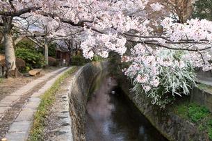 4月 桜の哲学の道の写真素材 [FYI04109634]