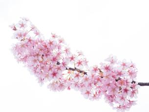 【春】 桜の花の写真素材 [FYI04109805]