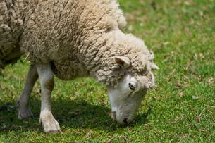 羊の写真素材 [FYI04110280]