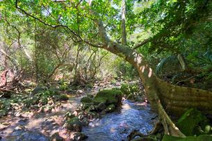 西表島のジャングルの写真素材 [FYI04110283]