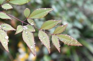 葉の上で光る水滴の写真素材 [FYI04110351]