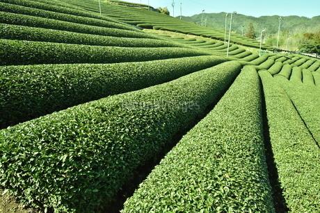 茶畑の写真素材 [FYI04110358]
