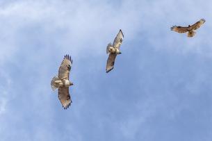 飛翔するノスリの写真素材 [FYI04110507]