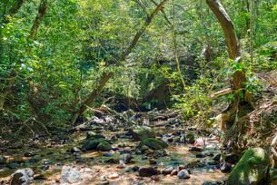 西表島のジャングルの写真素材 [FYI04110530]