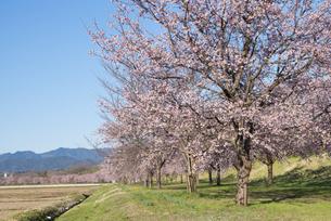 北浅羽桜堤公園の安行寒桜の写真素材 [FYI04110537]