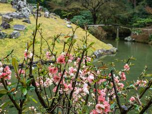 【香川県 高松市】 栗林公園の中にあるボケの花と睡竜譚の写真素材 [FYI04110638]