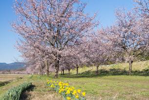 北浅羽桜堤公園の安行寒桜の写真素材 [FYI04110688]