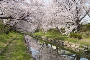 元荒川の桜並木の写真素材 [FYI04110692]