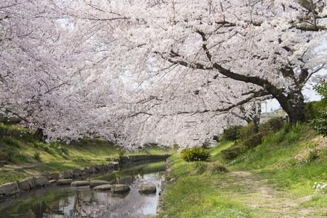 元荒川の桜並木の写真素材 [FYI04110699]