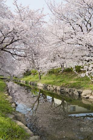 元荒川の桜並木の写真素材 [FYI04110703]
