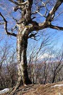 ブナの森に富士山の写真素材 [FYI04110709]