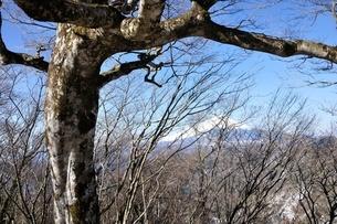 ブナの森に富士山の写真素材 [FYI04110710]