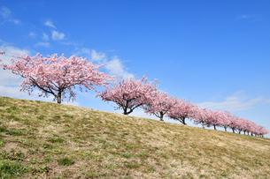 江戸川土手の河津桜の写真素材 [FYI04110768]