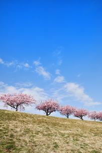江戸川土手の河津桜の写真素材 [FYI04110769]