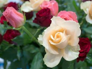バラの花の写真素材 [FYI04110956]