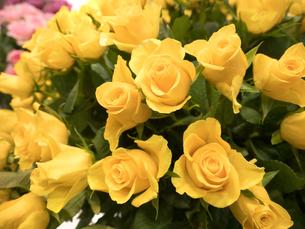 黄色いバラの花の写真素材 [FYI04110960]