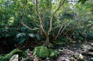 西表島のジャングルの写真素材 [FYI04111005]