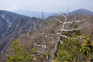 古木に富士山の写真素材 [FYI04111341]