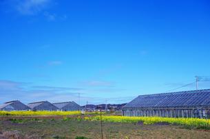 温室と菜の花の写真素材 [FYI04111367]