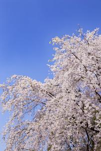 満開の枝垂れ桜  六義園の写真素材 [FYI04111464]