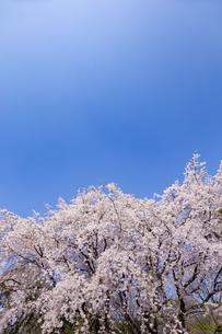 満開の枝垂れ桜  六義園の写真素材 [FYI04111465]