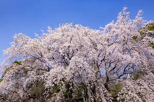 満開の枝垂れ桜  六義園の写真素材 [FYI04111471]