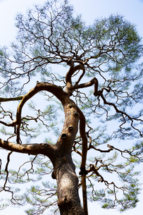 見事な枝ぶりの松の木の写真素材 [FYI04111476]