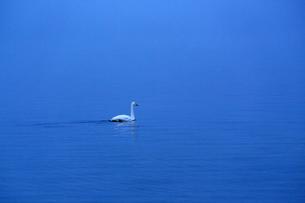 夜明け前の湖に浮かぶ一羽の白鳥の写真素材 [FYI04112369]