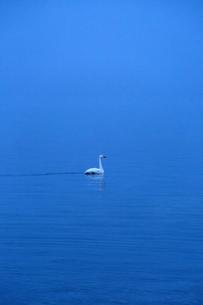 夜明け前の湖に浮かぶ一羽の白鳥の写真素材 [FYI04112370]