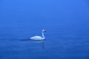 夜明け前の湖に浮かぶ一羽の白鳥の写真素材 [FYI04112371]