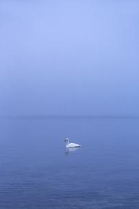 夜明けの湖に浮かぶ一羽の白鳥の写真素材 [FYI04112373]