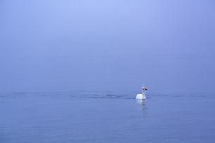 夜明けの湖に浮かぶ一羽の白鳥の写真素材 [FYI04112374]